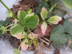 Discolouration of strawberry leaves due to glyphosate injury