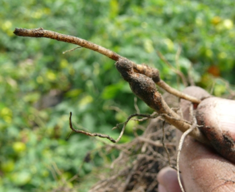 Example of corky root symptoms on roots (2009)