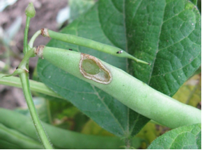 Newly hatched western bean cutworm larvae and feeding damage on bean pod