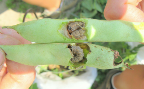 Western bean cutworm larvae in bean pods