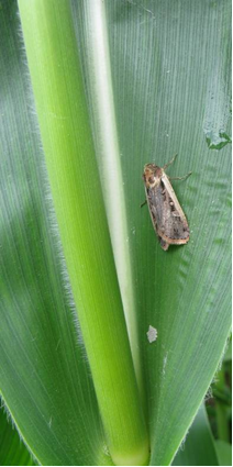 Western bean cutworm moth and egg mass on corn