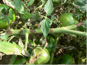 Figure 2. On tomato stems and leaf petioles, late blight lesions appear chocolate brown sometimes with a silvery or grey sheen.