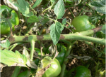 Figure 2. Lesions on tomato stems caused by the late blight pathogen appear as dark brown patches that eventually expand and girdle the stem.