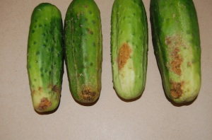 Rhizoctonia Belly Rot of Cucumbers