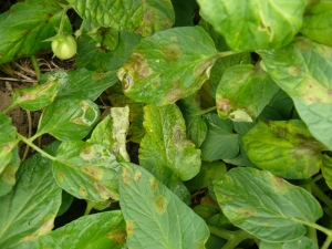 Figure 2: Early late blight symptoms on tomato