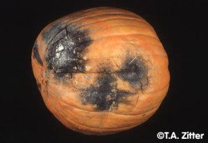 Black Rot Pumpkin