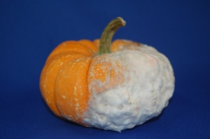 Pythium Rot on Mini Pumpkin