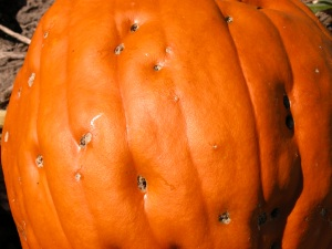 Scab of Pumpkin