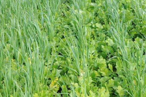 Oat and oilseed radish cover crop planted in August; growth by mid October