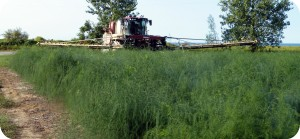 Figure 2: Self-propelled, front-mounted boom sprayer in asparagus fern
