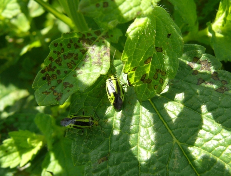 Four-lined plant bugs and damage on lemon balm