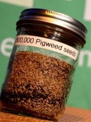 Figure 4. Jar of 500,000 pigweed seeds http://ocj.com/2013/04/keep-close-watch-for-palmer-amaranth/