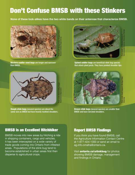 Ontario's least wanted: report the brown marmorated stink bug