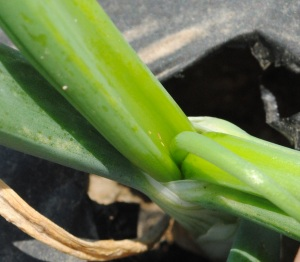 Figure 1. Onion thrips are very small insect pests of onions. They are the small yellowish-brown spots seen in the centre of this plant.