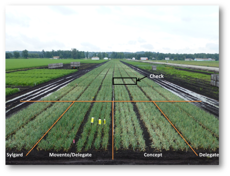 Figure 1. Onion thrips efficacy trial at the Muck Crops Research Station, 2012. The orange lines indicate one set of replicates for the treatments indicated (i.e. Sylgard, Movento followed by Delegate, Concept and Delegate) with 2 beds of 4 rows per treatment. The black box (check) indicates a plot where no insecticides were applied. Note the silvery light coloured foliage of the onions in the untreated plot, which is indicative of onions thrips feeding damage. Photo by L. Riches, Muck Crops Research Station.