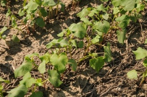 Buckwheat seedlings rapidly shade the ground, suppressing weed growth.