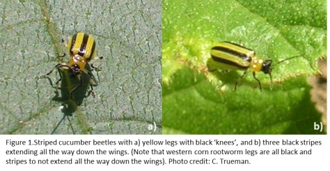 Figure 1.Striped cucumber beetles with a) yellow legs with black 'knees', and b) three black stripes extending all the way down the wings. (Note that western corn rootworm legs are all black and stripes to not extend all the way down the wings). Photo credit: C. Trueman.