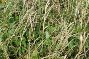 A multi mixture of cover crops can include warm season grasses like sorghum sudan which are killed by early frosts while the oats and oilseed radish tolerate fall temperatures readily.