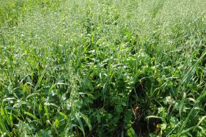 Oats and oilseed radish can make a great cover crop combination. If fall conditions allow, there can be tremendous growth, have a plan in place to deal with the residue.