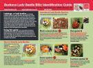 Buckeye Lady Beetle Blitz ID
