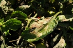 Advanced late blight symptoms