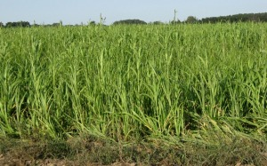 Pearl millet top growth