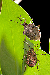 Brown marmorated stink bug adult (lower = nymph) from University of Guelph