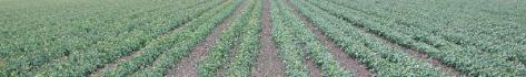 Processing tomato field