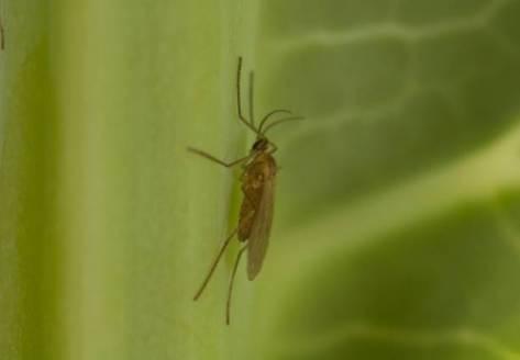 Figure 1:  An adult male swede midge, 1-2 mm long.