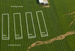 Figure 1: In a strip trial the new product is applied in strips through the field and the yield compared between the new product and the existing practice beside the strip. Areas of known variability such as the bare spots in the photo should be avoided. (Source: shutterstock.com)