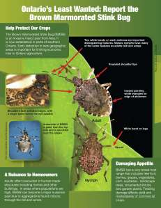 OMAF brown marmorated stink bug information