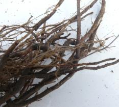 Diseased tomato roots
