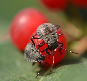 Figure 1—BMSB nymphs feeding on honeysuckle.