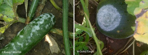 White spores on the fruit surface of zuchinni and pumpkin.