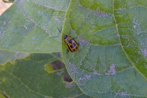 bean leaf beetle adult