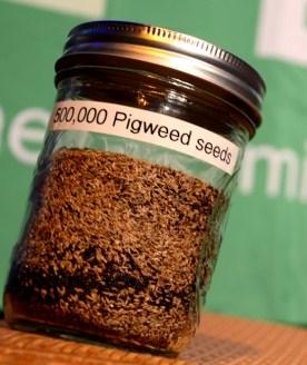 Jar of 500,000 pigweed seeds
