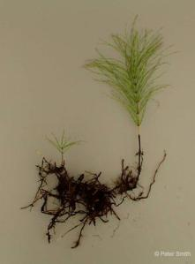 Field horsetail rhizomes