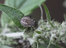 Brown marmorated stink bug nymph - third instar