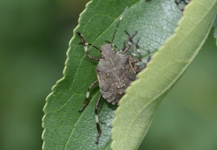 Brown marmorated stink bug nymph - fifth instar