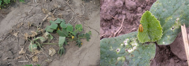 Figure 3. Bacterial wilt (left) and striped cucumber beetle (right).