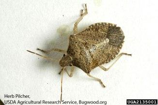 Brown stink bug adult