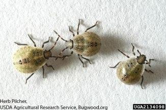 Brown stink bug nymphs