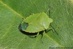 Green stink bug adult