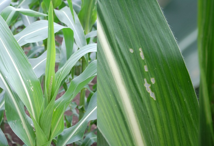 Figure 1. Window panes on corn caused by European Corn Borer Larvae