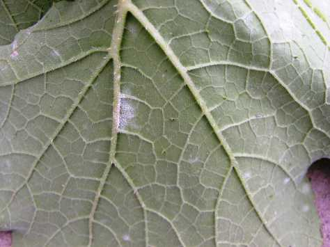 Powdery Mildew Lesion on the Lower Leaf Surface