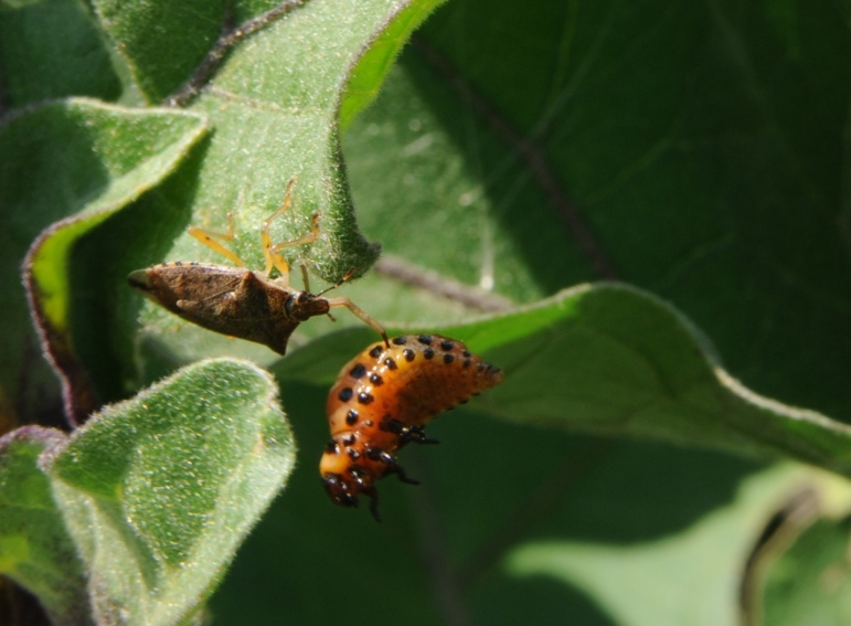 Spined soldier bug feeding on CPB larva