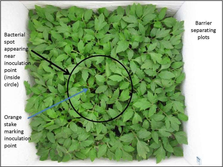 Figure 1. Experimental plot showing location of inoculation with symptomatic seedling, spread of bacterial spot symptoms from inoculation point, and barriers used to separate plots.