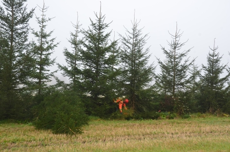Figure 1: Thinning a windbreak using a staggered pattern.