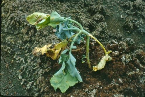 Cabbage maggot on broccoli seedling.