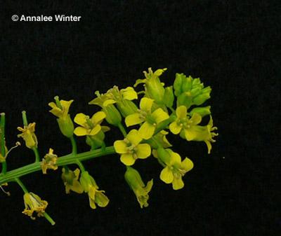 Flowering yellow rocket